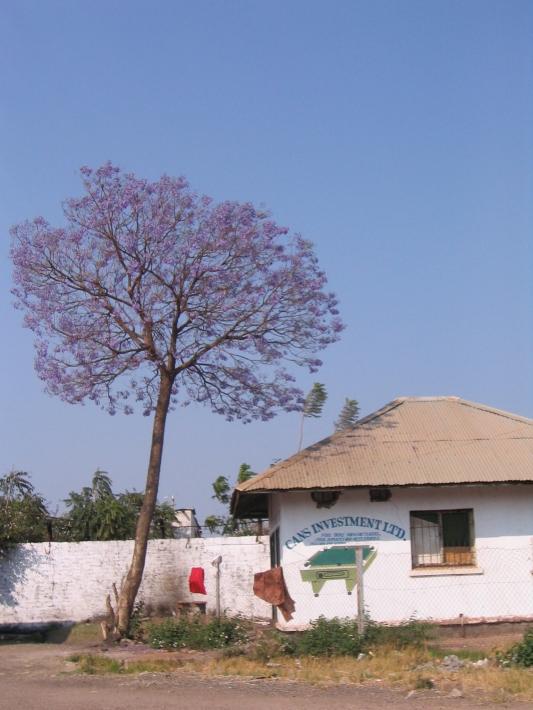 Jacaranda Tree, Zambia